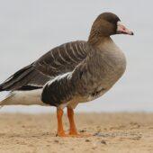Gęś białoczelna, Greater White-fronted Goose, Anser albifrons, Pogoria 3, Dąbrowa Górnicza, SLK, 01.03.2021 (Polska, Poland) (1)
