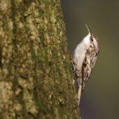 Pełzacz ogrodowy, Short-toed Treecreeper, Certhia brachydactyla, Dąbrowa Górnicza, SLK, 04.01.2021 (Polska, Poland) (1)
