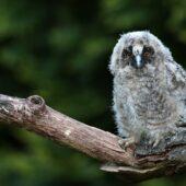 Uszatka, Long-eared Owl, Asio otus, Dąbrowa Górnicza, SLK, 30.05.2021 (Polska, Poland) (1)