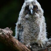Uszatka, Long-eared Owl, Asio otus, Dąbrowa Górnicza, SLK, 30.05.2021 (Polska, Poland) (2)